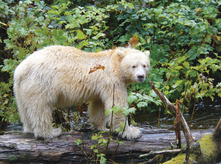 Best Fall Bear Trips: From Rare BC Spirit Bears to Chinese Pandas on Natural Habitat Adventures Eco Tours