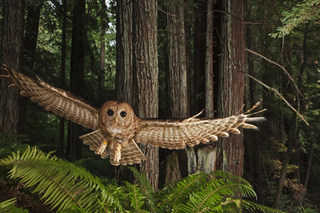 Northern Spotted Owl, California, 2009