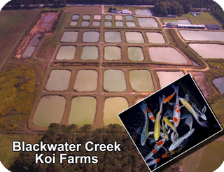 One of three koi farms owned by Blackwater Creek Koi Farms Inc