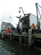 Each season 1,000 pound giant bluefin tuna are caught off Cape Cod, Massachusetts.