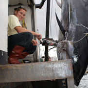 Each season big tuna invade Cape Cod waters.  October is arguably the best month for targeting giant tuna.