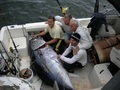 Cape Cod fishermen catch giant tuna using rods and reels. Rod and reel fishing eliminates the problem of by-catch