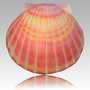 Biodegradable Cremation Urns - Create a natural sea burial with this sea shell cremation urn.