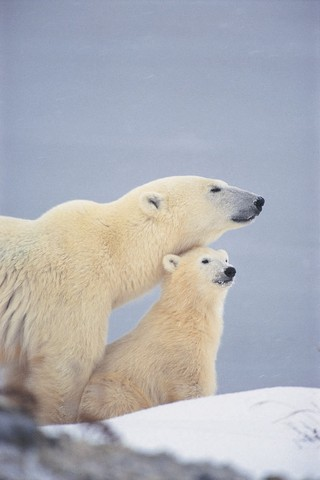 Natural Habitat Adventures provides Churchill Polar Bear Tours