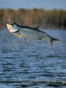 8 Year Old Catches 140 Pound Tarpon in The Everglades
