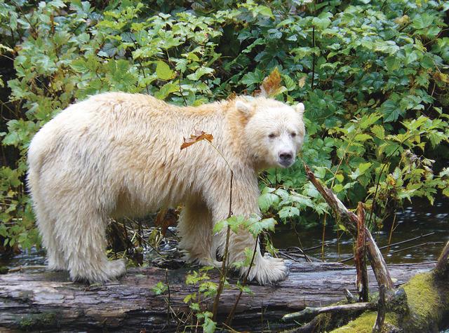 A rare white Spirit Bear, found in Canada's far western Coast Range (© Bluewater Adventures).