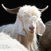 A White kashmir (pashmina) goat from Indian highland farm in Ladakh - this is the fibre that makes pashmina so special.