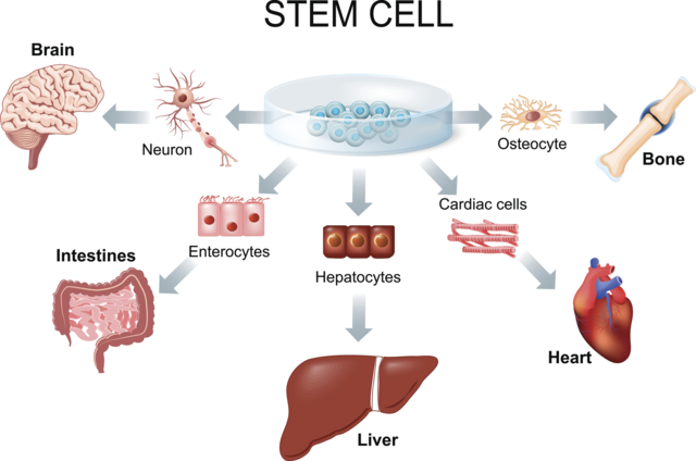 Stem cell differentiation into various tissues