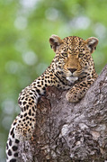 """Mara Plains Camp in Kenya has been """"a magnet for leopards"""" lately, including a mother with cubs reports Africa Adventure Consultants © Africa Adventure Consultants"""