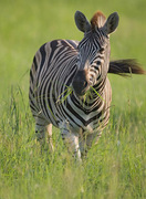 """Family safaris offer a chance to see species like the zebra - a kids-favorite character from the """"Madagascar"""" movies – in the wild © Africa Adventure Consultants"""