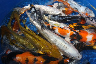 Koi For Sale from fall harvest begins at Blackwater Creek Koi Farms Inc
