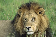 View lions in the wild  with Tanzania Big 5 Safari (photo: © Africa Adventure Consultants)