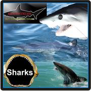 Sharks, the new monster sport fish!